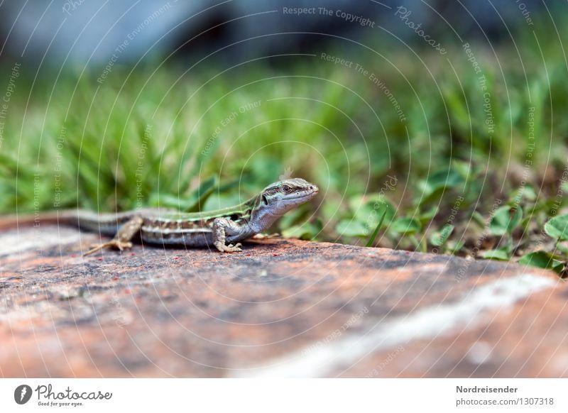 Trash 2015 | Eidechse Natur Pflanze Tier Erde Sommer Gras Wiese Wildtier beobachten Jagd warten Echte Eidechsen Reptil Farbfoto Außenaufnahme Menschenleer