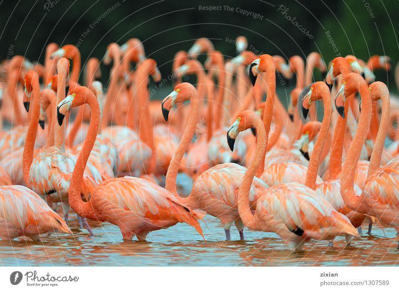 Flamingos, Phoenicopterus roseus, stehend im Fluss Tier Wildtier Vogel Flügel Tiergruppe Schwimmen & Baden schön niedlich mehrfarbig rosa rot Farbfoto Morgen