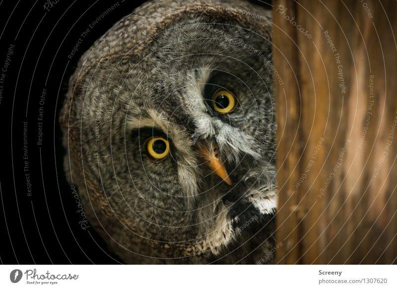 WTF? Natur Tier Wildtier Vogel Eulenvögel 1 beobachten Neugier Sicherheit Interesse Nervosität Erwartung Kontrolle Konzentration Auge Schnabel hypnotisieren