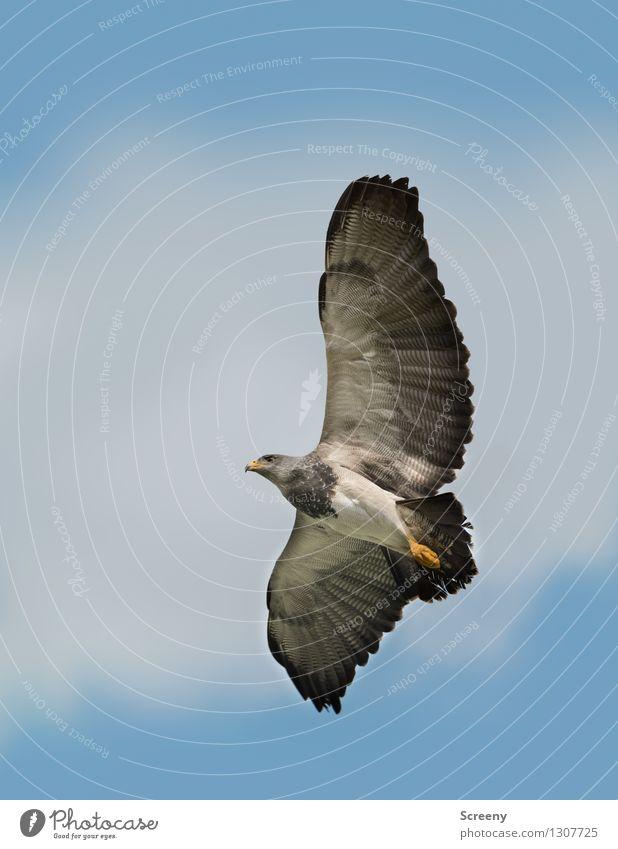 Feel free Natur Tier Luft Himmel Wolken Sommer Wildtier Vogel 1 fliegen elegant grau schwarz Wachsamkeit ruhig ästhetisch wild Freiheit Flügel Feder Farbfoto