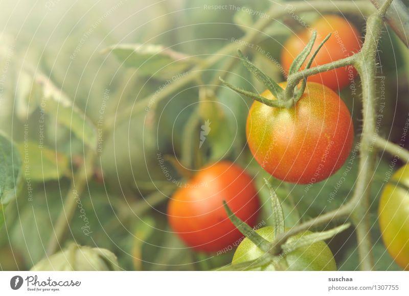 rot und grün Pflanze Gemüse Tomate Blatt Strauchtomate Stengel Garten Gemüsegarten Gartenarbeit Gemüsebau Landwirtschaft Lebensmittel Gesunde Ernährung