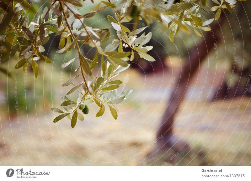 Olivenhain Umwelt Natur Pflanze Sommer Baum Nutzpflanze grün Olivenbaum Olivenblatt Zweige u. Äste Türkei Ägäis Farbfoto Gedeckte Farben Außenaufnahme