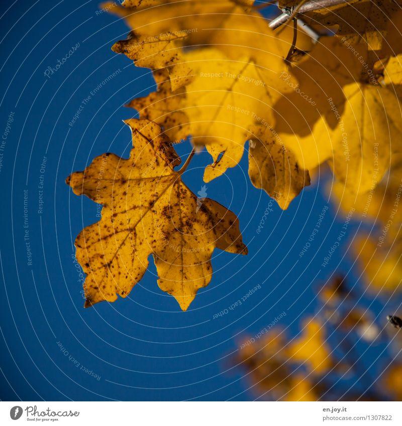 Altersflecken Himmel Natur alt blau Pflanze Baum Blatt gelb Senior Herbst Zeit Wachstum Klima Vergänglichkeit Schönes Wetter Wandel & Veränderung