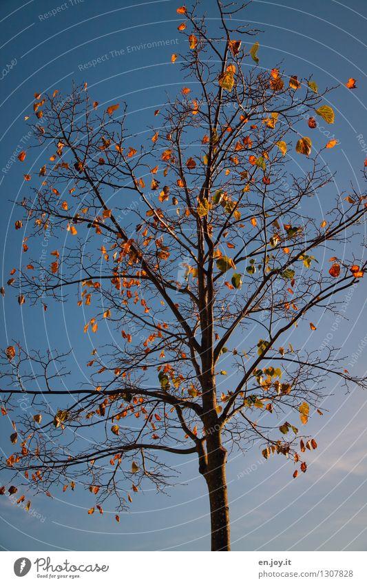 ungeschüttelt Umwelt Natur Pflanze Himmel Wolkenloser Himmel Sonnenlicht Herbst Klima Klimawandel Wetter Schönes Wetter Baum Laubbaum Herbstlaub alt fallen