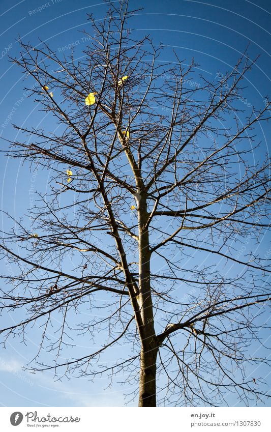 schwerelos Natur Pflanze Himmel Wolkenloser Himmel Herbst Klima Klimawandel Schönes Wetter Baum Blatt Laubbaum Herbstlaub fallen nackt trist blau Hoffnung