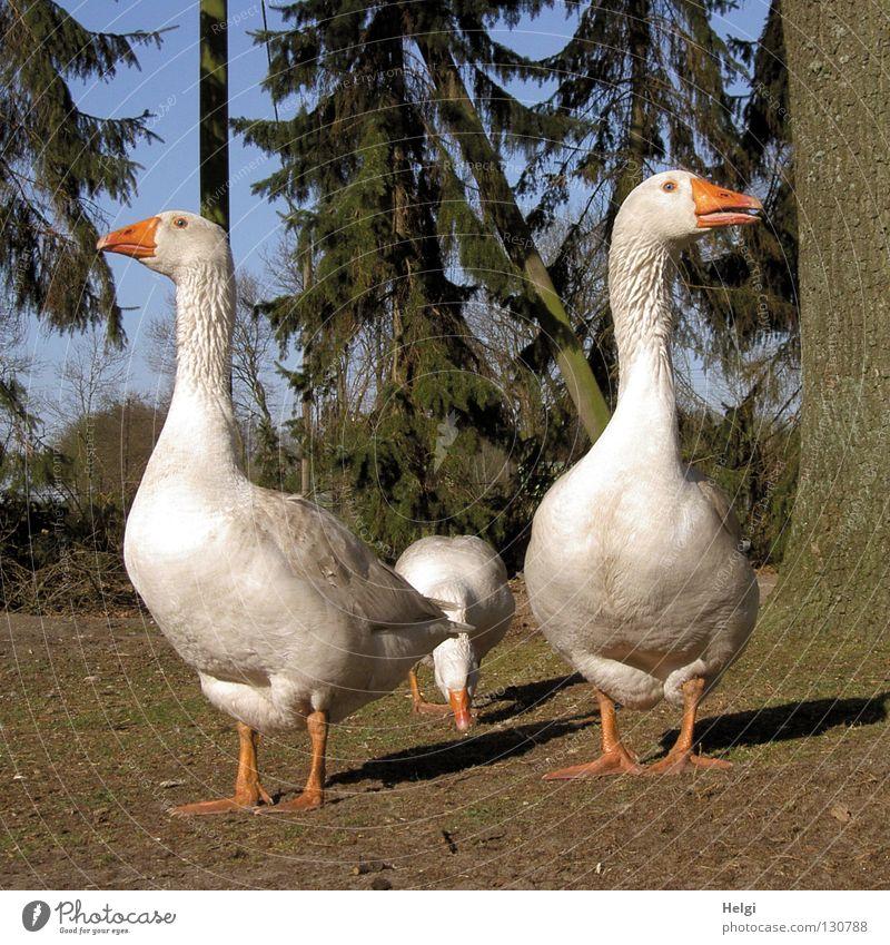 glückliches Federvieh... weiß grün Baum Wiese Gras Frühling Vogel braun Feste & Feiern orange laufen 3 stehen weich Ast
