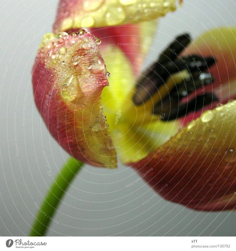 Tulpe | TropfNass Blume Blüte Frühling alt Blühend Vergänglichkeit Gefäße Ordnung Blick Blütenblatt blau schwarz rosa gelb grün Stengel Freisteller nass Regen