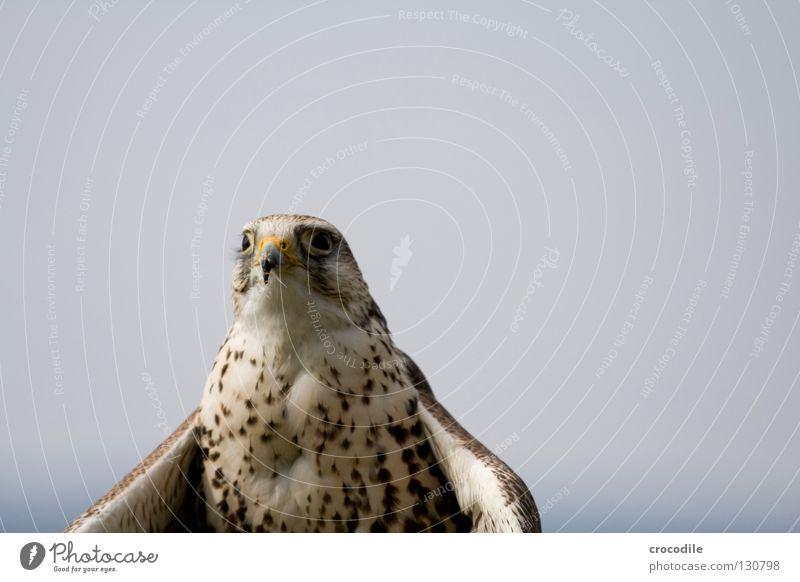 Falkenblick Freiheit Vogel fliegen Feder Frieden Konzentration Jagd Appetit & Hunger Tier sanft Schnabel töten Greifvogel