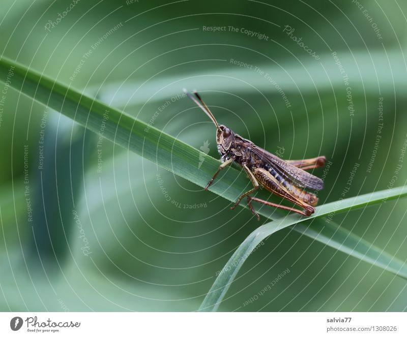 kleiner Hüpfer Natur Pflanze grün Sommer Blatt Tier Frühling Wiese Gras klein frisch sitzen festhalten sportlich dünn lecker