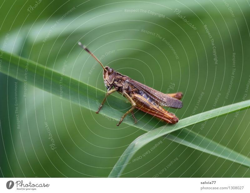 Akrobat im Grasdschungel Natur Pflanze grün Sommer Blatt Tier Umwelt Wiese springen frisch Wildtier frei sitzen festhalten sportlich