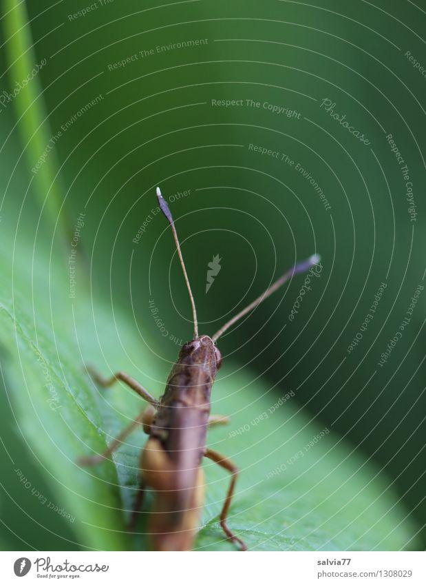 Fühler Natur Pflanze grün Sommer Blatt Tier Umwelt Wiese Gras natürlich klein braun frisch Wildtier frei sitzen