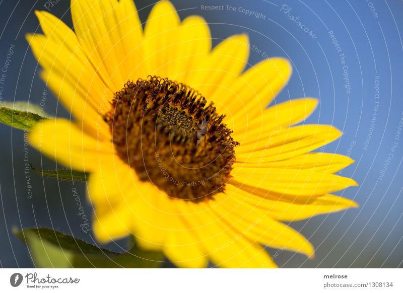 Sonnenschein lastig ... Sonnenblumenöl Sonnenblumenkern elegant Stil Natur Wolkenloser Himmel Sommer Schönes Wetter Blume Blüte Nutzpflanze Blütenpflanze Garten