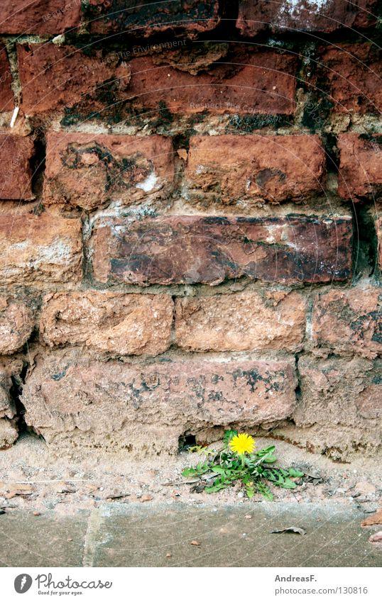 Mauerblümchen Gemäuer Wand verfallen Blume Blüte Löwenzahn gelb einzeln Pflanze Hoffnung Wachstum Reifezeit klein machtlos Partnersuche Riss Backstein