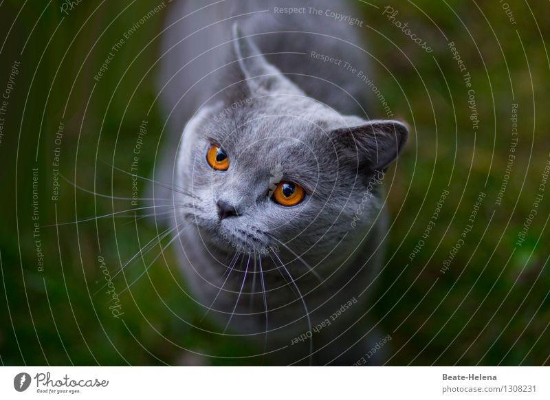 Herr Bernstein erbittet Aufmerksamkeit Katze grün schön ruhig Wärme Liebe Gras grau Denken Freundschaft glänzend leuchten Kommunizieren beobachten Warmherzigkeit rund