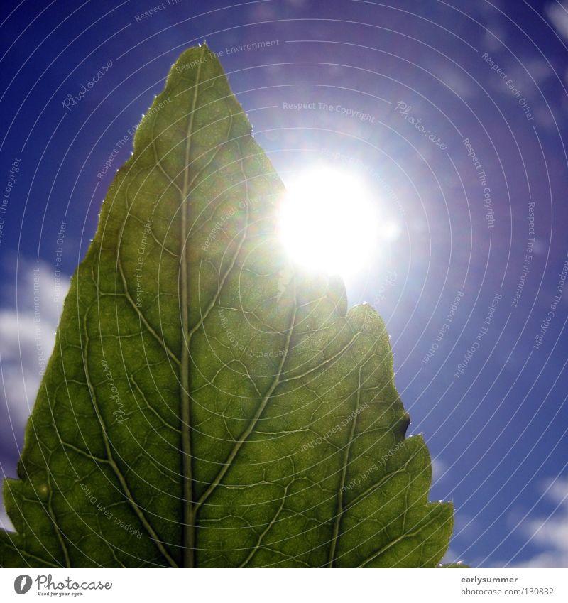 greenscreen-ing Sonne Natur Pflanze Himmel Wolken Sonnenlicht Frühling Sommer Blatt Grünpflanze Nutzpflanze hell nah blau grün Farbe Hibiscus Photosynthese