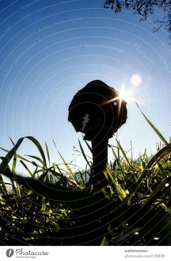 Pilz mit Sonne Sammlung Wiese Gras Herbst Morgen Parasolpilz Pilze suchen Schirmpilz