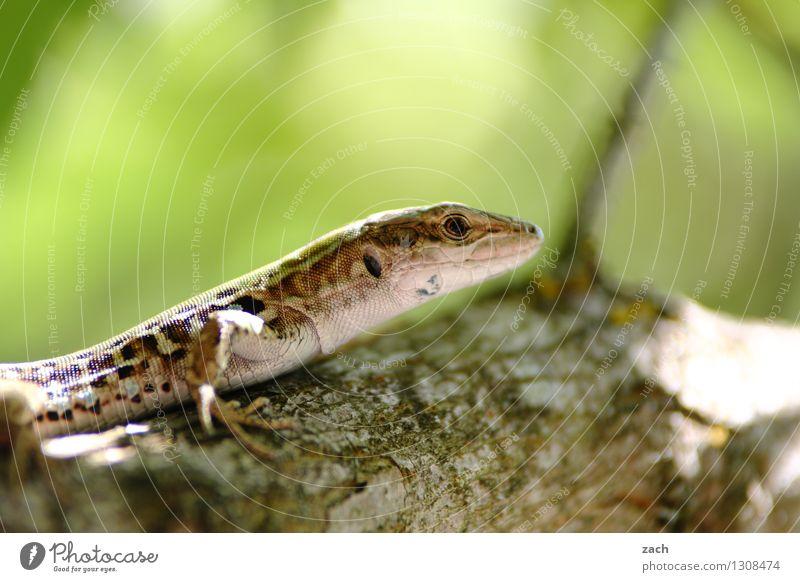 Auf Augenhöhe Echsen Echte Eidechsen grün Natur Baum Tier Baumstamm sitzen Schuppen Reptil