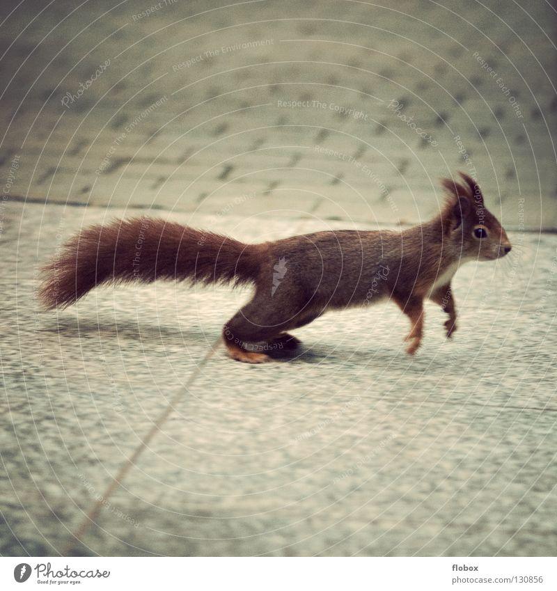 PC mag immernoch Eichhörnchen Tier Nagetiere braun rot rotbraun Fell zerzaust buschig Schwanz süß klein niedlich springen Angsthase Flucht Geschwindigkeit Panik