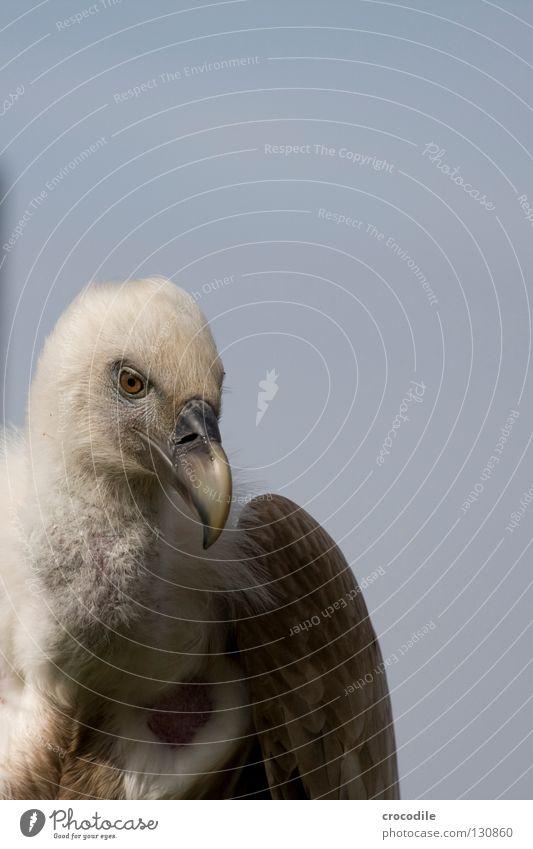 Geier Aasfresser Fressen Vogel Gleitflug Freisteller schön schnebel Hals Feder Flügel Freiheit fliegen
