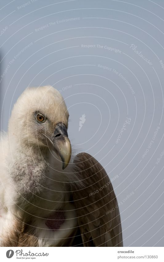 Geier schön Freiheit Vogel fliegen Feder Flügel Fressen Hals Tier Gleitflug Aasfresser