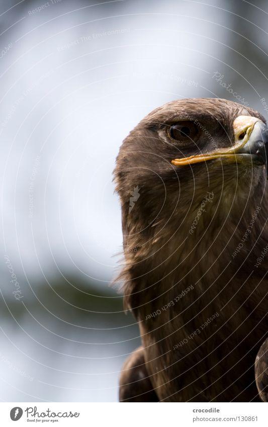 adlerauge Adler Jäger töten Schnabel gefangen Vogel schön fliegen rauvogel Luftverkehr Feder Flügel Freiheit Auge