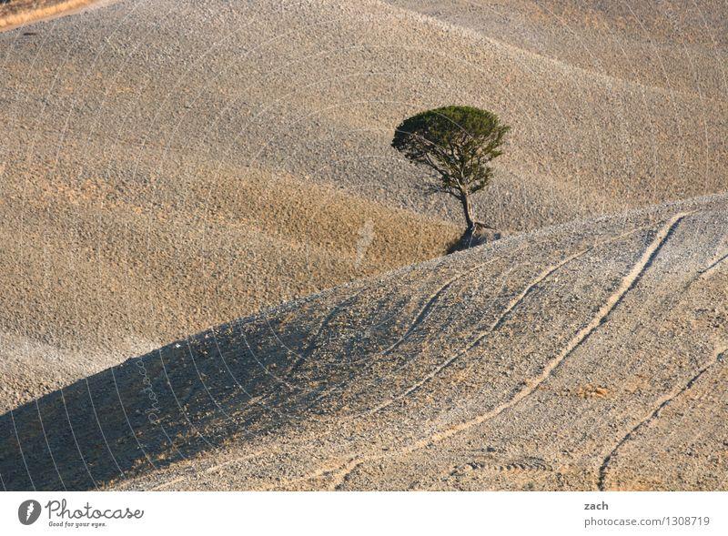 Einzelkämpfer Natur Pflanze Baum Einsamkeit Landschaft Umwelt braun Sand Feld Wachstum Erde einzeln Italien Urelemente Hügel trocken