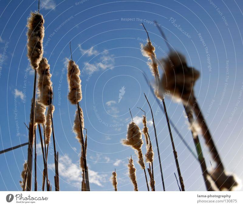 Himmelwärts Sonnenstrahlen Sommer Schilfrohr Gras Halm Watte weich Wind Brise Morgen Schatten Natur gutes wetter Blauer Himmel Küste Landschaft