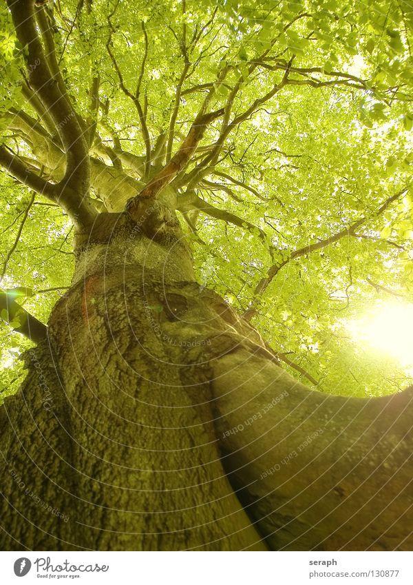 Uralte Buche Baum Buchenwald Sonne Wald Buchenblatt Blatt Baumstamm Baumkrone Blätterdach Natur Pflanze Laubbaum grün Baumrinde Wachstum Ast verästelt Blattgrün
