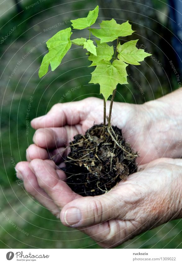 Sproessling in Hand, Ahorn, Pflanze Baum Blatt entdecken Ahornbaum Acer Ahornsproessling Erde Eindruck Jung Jungbaum Junge Junger Jungpflanze In Maple