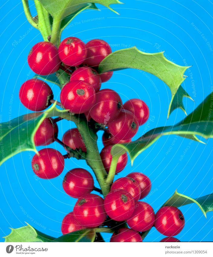 Stechpalme, Ilex aquifolium Alternativmedizin Natur Pflanze Sträucher Wildpflanze frei blau rot rote Beeren Zierstrauch Giftpflanze Waldpflanze