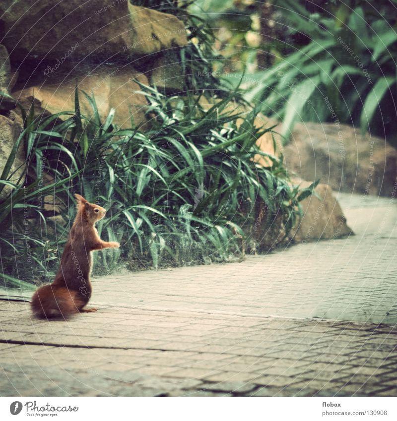 Ausgesperrt Pflanze rot Tier braun warten klein Glas geschlossen süß stehen Fell niedlich Langeweile Säugetier Schwanz Eichhörnchen