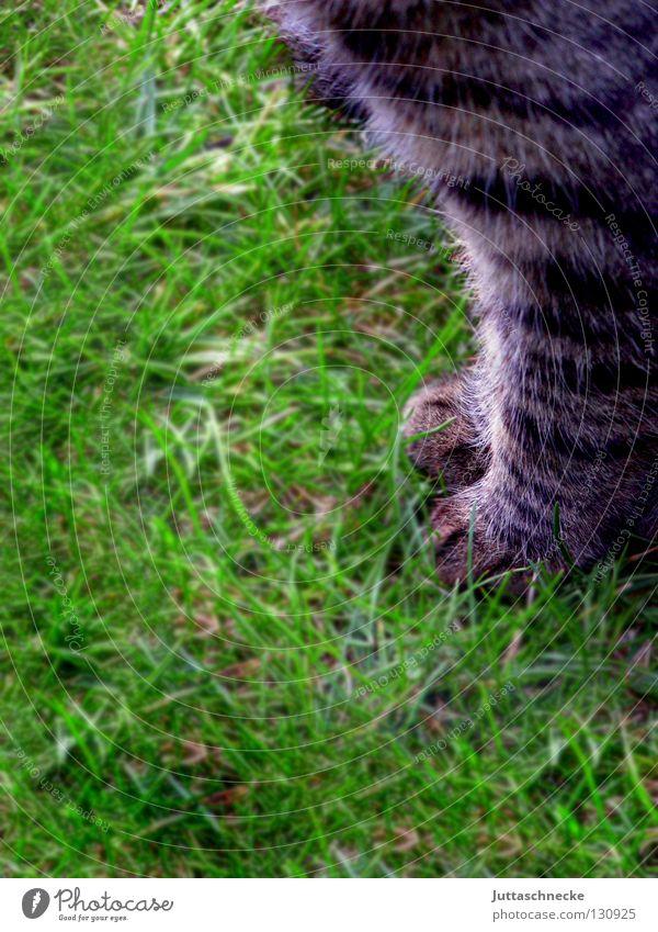 Ganz artig Katze Natur grün Tier Wiese Gras grau Garten sitzen Rasen Fell Konzentration Jagd Haustier Pfote Säugetier