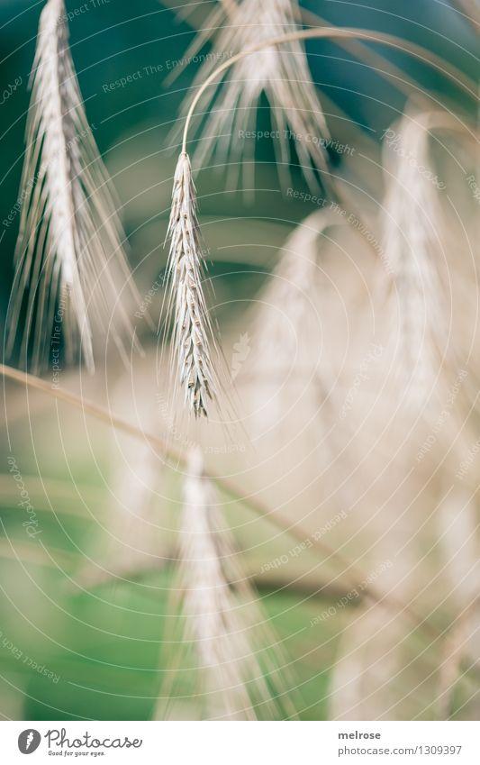 Getreide III Lebensmittel Feldfrüchte Ernährung Bioprodukte elegant Stil Natur Landschaft Sommer Schönes Wetter Pflanze Nutzpflanze Getreidefeld Ähren Essen