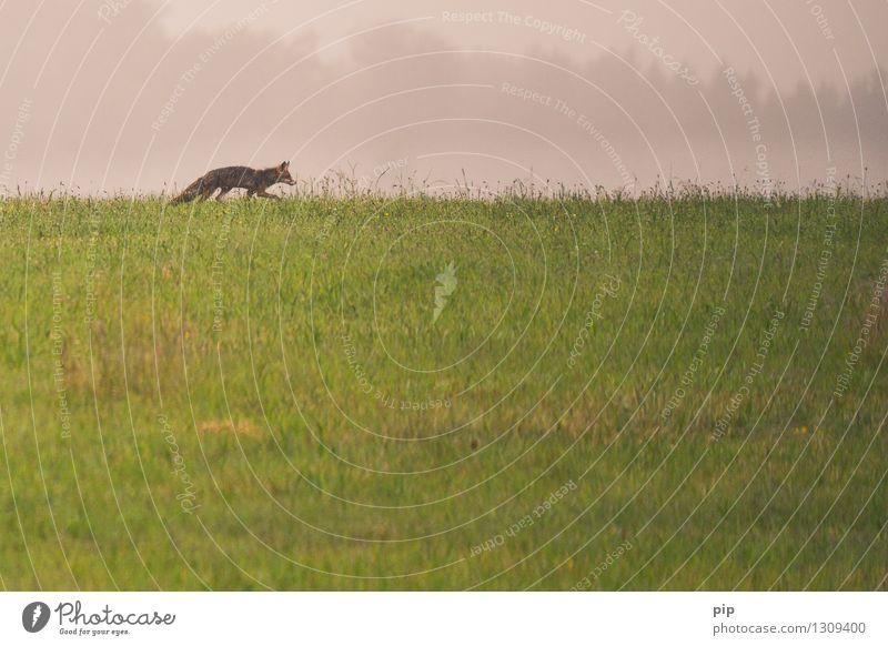 fux Natur Gras Wiese Feld Tier Wildtier Fuchs 1 gehen laufen wild Appetit & Hunger Einsamkeit Jagd klug Pirsch Horizont Fährte Gedeckte Farben Außenaufnahme
