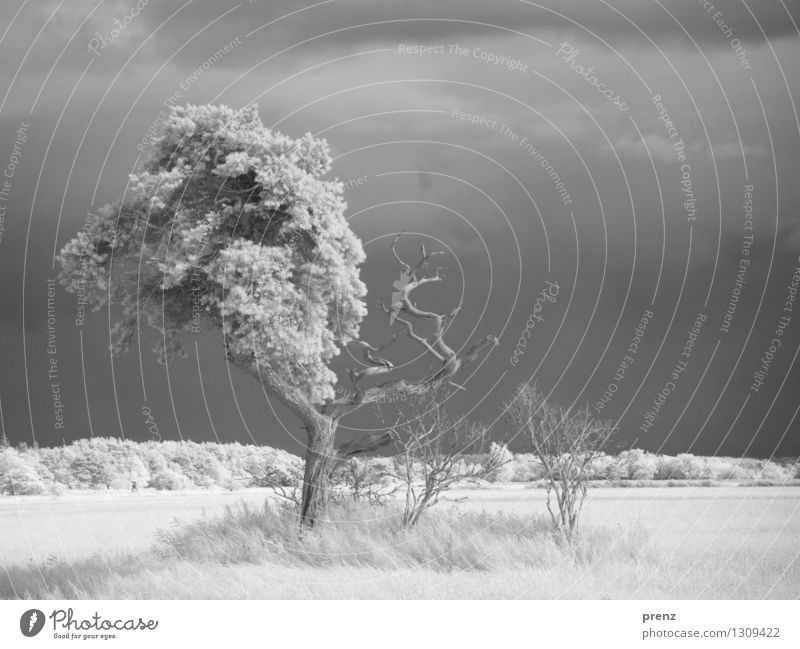 Sommer 2015 Umwelt Natur Landschaft Pflanze Schönes Wetter Baum Gras Sträucher Feld schön grau schwarz weiß Infrarotaufnahme Vorpommersche Boddenlandschaft Darß