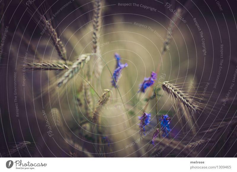 Getreide II Lebensmittel Feldfrüchte elegant Stil Natur Sommer Schönes Wetter Pflanze Blume Gras Blüte Nutzpflanze Wildpflanze Getreidefeld Ähren Getreideernte