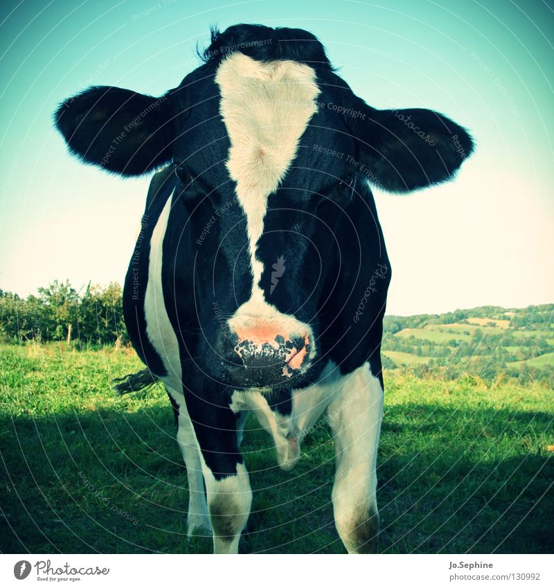 Bella Natur weiß Tier schwarz Wiese Gras natürlich stehen Schönes Wetter Idylle Ohr Weide Kuh ökologisch Säugetier Biologische Landwirtschaft