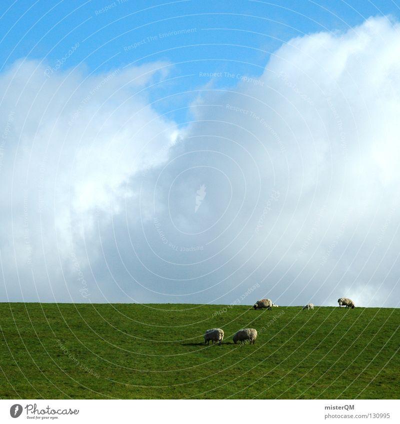 Schaf müsste man sein. Himmel blau grün weiß Farbe Tier Wolken ruhig Wiese Gras grau Gesundheit offen hoch frei Zukunft