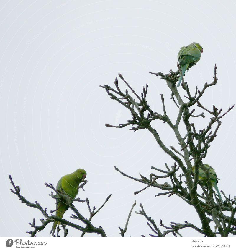 Rhein-Neckar-Sittiche #2 Baum grün Freiheit Vogel fliegen Feder Flügel Ast Schnabel Mannheim Rheinland-Pfalz Papageienvogel Heidelberg driften Ludwigshafen