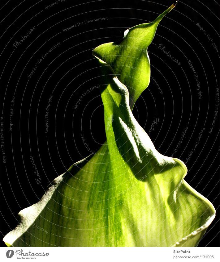 Grüne Calla Blume grün schwarz flower green Detail black Spitze