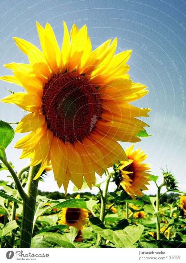 Dancin´ in the Summersun Sommer Sonnenblume gelb Feld Sonnenblumenkern Physik Gesundheit Blüte grün frisch Blume Korbblütengewächs Freude Wärme