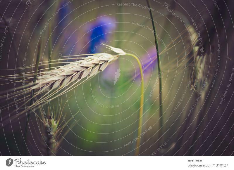 Getreide I Natur Pflanze grün schön Sommer Sonne Blume Landschaft Gras natürlich Stil Gesundheit Lebensmittel braun Zufriedenheit Feld