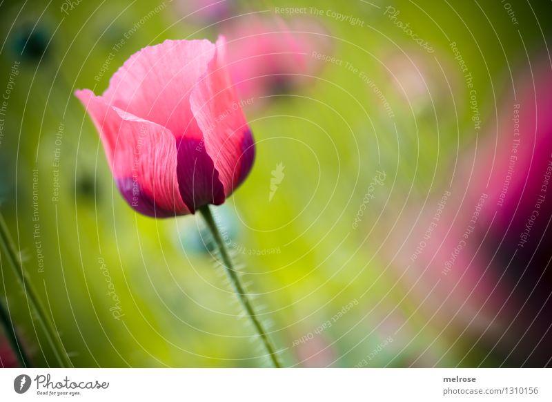 Mo(h)ntag I Mohn elegant Stil Natur Pflanze Sommer Schönes Wetter Blume Blüte Wildpflanze Topfpflanze Klatschmohn Mohnblüte Wiese Rauschmittel Blühend Erholung
