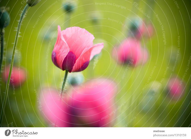 Mo(h)ntag II Natur Pflanze grün schön Erholung Blume ruhig Blüte Wiese Stil Freiheit rosa Zufriedenheit träumen leuchten elegant