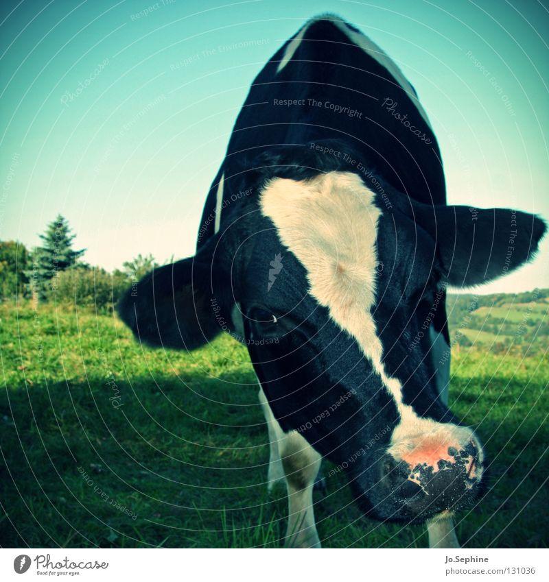 Bella II Gras Wiese Tier Nutztier Kuh 1 stehen Neugier niedlich Milchkuh Rind Freilandhaltung Biologische Landwirtschaft ökologisch scheckig gefleckt frontal