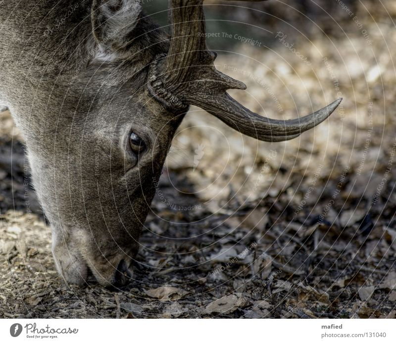 Damhirsch Auge grau braun Wildtier Frieden Horn Fressen sanft Säugetier Hirsche Damwild Wildpark