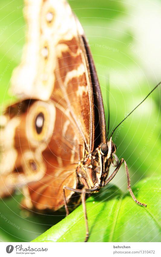 aufgerollt Natur Pflanze Tier Frühling Sommer Schönes Wetter Baum Blatt Garten Park Wiese Wildtier Schmetterling Tiergesicht Flügel blauer morphofalter 1