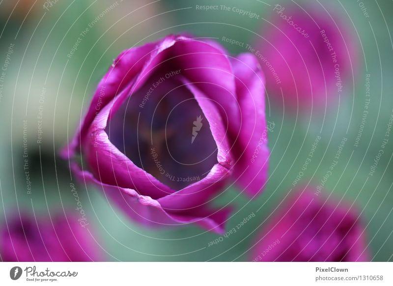 Tulpen Pflanze schön Farbe Erholung Blume Blatt Blüte Stil Garten Lifestyle Stimmung Park träumen Wachstum elegant Idylle