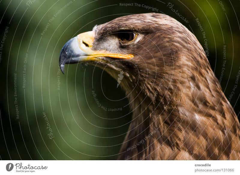 Adlerportrait schön Tier Auge Freiheit braun Vogel Kraft fliegen Kraft Feder Jagd gefangen Schnabel bewegungslos Haken töten