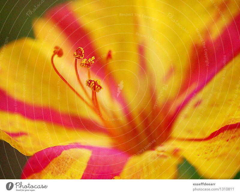 Macro Garden Action: Yellow One Umwelt Natur Pflanze Sonne Sommer Klima Schönes Wetter Blume Blüte Grünpflanze Garten Blühend Duft Erholung knien krabbeln